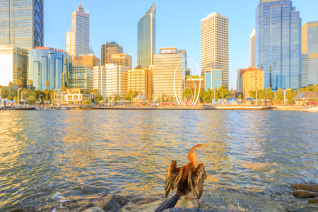 Perth, Australia - Jan 6, 2018: Australian darter drying its wings from Elizabeth Quay at sunset light. The popular and modern skyscrapers of Perth skyline on background, Western Australia.