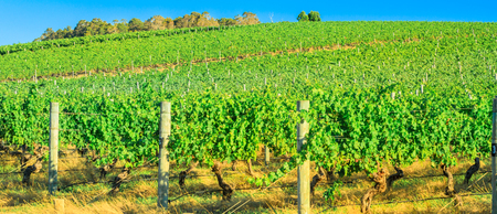 Landscape panorama of rows of grapes in a vineyard. Wilyabrup in Margaret River known as the wine region in Western Australia. Margaret River is a tourist attraction known for its many wineries. Stock Photo