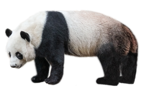 The Giant Panda, Ailuropoda melanoleuca, also known as panda bear, is a bear native to south central China. Panda standing, side view, isolated on white background, often used as an symbol of China. Stock Photo