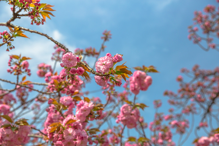 Pink Sakura background. Closeup of blossoming cherry tree branch on blue sky. Shinjuku Gyoen National Garden, Shinjuku District, Tokyo, Japan. Spring concept, Hanami and outdoor life. Stock Photo