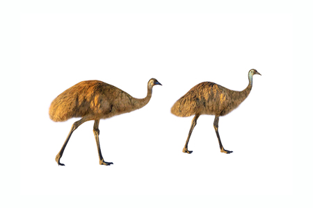 Two Emus, Dromaius novaehollandiae, walking, isolated on white background.The emu is the symbolic national bird of Australia. It lives in prairies and savannah of whole Australian territory. Side view