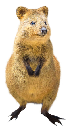 A cute Quokka standing, isolated on white background. The Quokka is an australian mammal and marsupial, crepuscular and nocturnal. Front view.