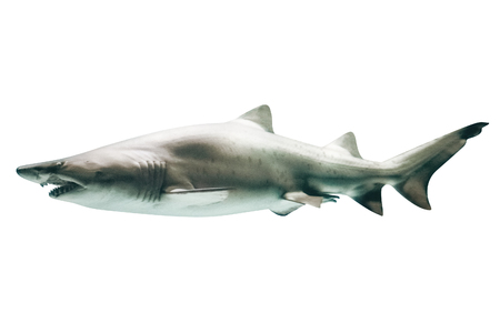 Side view of Great White Shark, Carcharodon carcharias, isolated on white.The white shark is the worlds largest known macropredatory fish, and is one of primary predators of marine mammals.Copy space