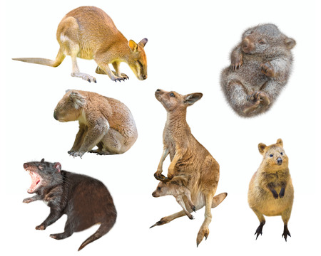 Collage of Australian marsupial mammals, isolated on white background. Wallaby, Tasmanian Devil, Wombat, Kangaroo with Joey, Quokka and Koala. Stock Photo