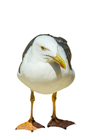 A standing European herring gull, Larus argentatus, a large gull, isolated on white background. Front view.