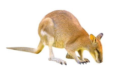 Australian Wallaby, Macropus Rufogriseus, side view isolated on white background. The Wallaby is a marsupial of Macropodidae family whose size is not large enough to be considered a kangaroo.