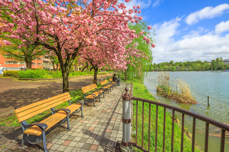 Unidentified person contemplates sitting on a bench on Shinobazu Pond in Ueno Park, central Tokyo during cherry blossom. Ueno Park is one of the most popular and lively cherry blossom spots. Stock Photo