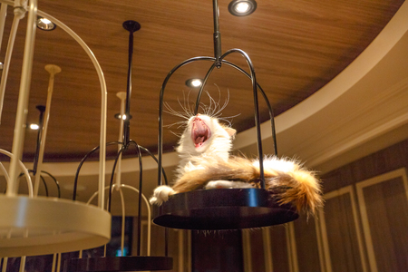 Tokyo, Japan - April 17, 2017: Turkish Angora cat lying down yawning inside of Cat Cafe Mocha in Shibuya District. The Japanese who go to the Cat Cafe decreases anxiety and stress.