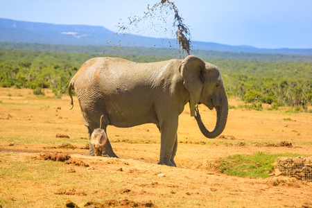 Side view of African elephant cooling down by spraying mud on himself at Addo Elephant National Park in summer season. Addo NP in Eastern Cape, South Africa. A warthog in front of the hind leg.