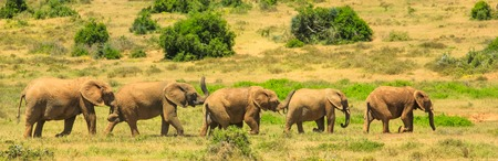 Panorama of five elephants walking in a row in Addo Elephant National Park, Eastern Cape, 70 km from Port Elizabeth in South Africa. Summer season. Sunny day. Banco de Imagens