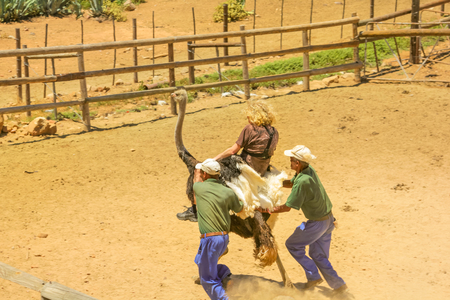 Oudtshoorn, South Africa - Dec 29, 2013: young tourist riding at Ostrich at Cango Ostrich Show Farm during a popular ostrich tour. Oudtshoorn is famous for tourist activities with ostriches.