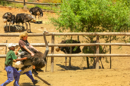 Oudtshoorn, South Africa - Dec 29, 2013: people enjoying Ostrich riding at Cango Ostrich Show Farm famous for funny riding of ostriches. Oudtshoorn in Western Cape is known for numerous ostrich farms.
