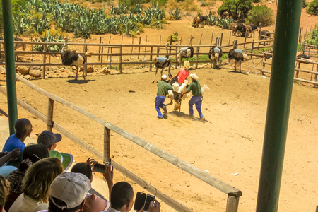 Oudtshoorn, South Africa - Dec 29, 2013: people during Ostriches Tour at Cango Ostrich Show Farm with final demonstration in which a volunteer woman rides an ostrich. Tourist attraction in Oudtshoorn. Editorial