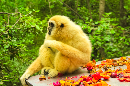 Lar Gibbon Monkey. Gibbon eating in the forest, Hylobates Lar species in Indonesia, Malaysia and Thailand, between southwest China to Thailand and Burma in tropical rain forests