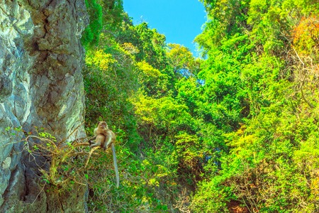 One of monkeys of Monkey Beach, on top of a tree in tropical vegetation of Ko Phi Phi Don, the main island of Phi Phi Islands, Krabi, Thailand. Tourist attraction and beautiful place.