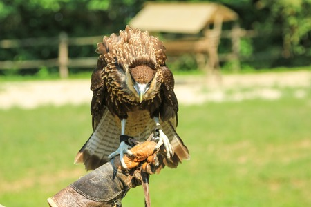 falconer with leather gloves holding a trained hawk. Falconry with birds of prey in the wildlife. Blurred background. Stock Photo