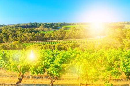 Picturesque seasonal background in vineyard with sunset light. Australian landscape of rows of white grapes in a vineyard. Margaret River known as wine region in Western Australia. Stock Photo