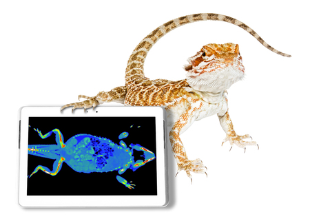 Bearded dragon with its ct scan in a tablet. White studio background. Exotic veterinarian diagnostic tomography scan test on a reptile..