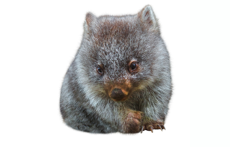 Sweet and tender little australian wombat in position marsupial. Isolated on white background. The Wombat is a crepuscular and nocturnal marsupial. 版權商用圖片 - 103918884