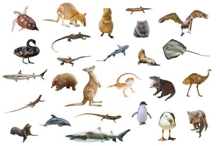 Australian animals isolated on white background:Wallaby,Tasmanian Devil,Wombat,Kangaroo, Quokka,Koala, Pelican,Seagull,Penguin,Swan,shark, Sting Ray,Turtle, Dolphin,Seal,Komodo dragon and Pogona.