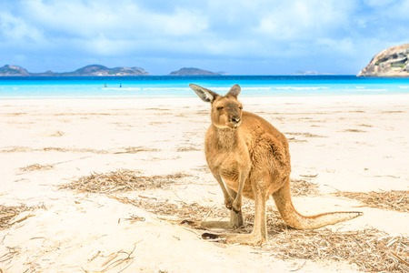 kangaroo standing at heavenly Lucky Bay in Cape Le Grand National Park, near Esperance in WA. Lucky Bay is the famous half moon of fine white sand known for its friendly kangaroos. Stock Photo