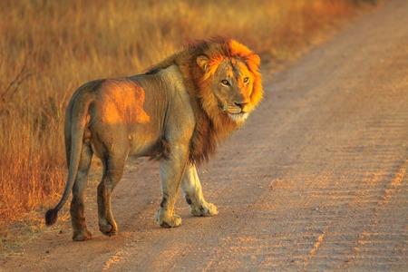 Lion mâle adulte debout sur une route de gravier à l'intérieur du parc national Kruger, Afrique du Sud. Panthera Leo dans l'habitat naturel. Le lion fait partie du populaire Big Five. Lumière du lever du soleil. Vue de côté.