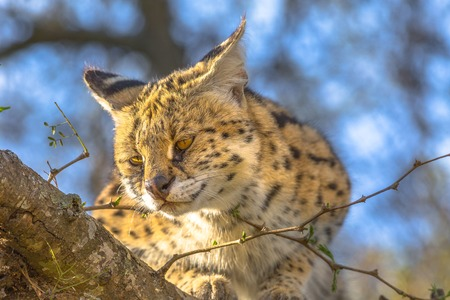 Front view of Serval resting on a tree in natural habitat with blurred background. The scientific name is Leptailurus serval. The Serval is a spotted wild cat native to Africa.