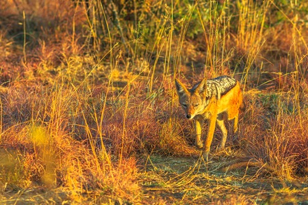 The Black-Backed Jackal walking on the bushland of Pilanesberg National Park, South Africa at sunset light. The African Jackal,Canis mesomelas, is a canid.