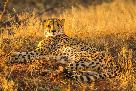 African cheetah species Acinonyx jubatus, family of felids, lying in arid bush habitat, South Africa. The cheetah is the fastest land animal in the world. Stock Photo