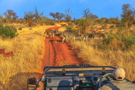 Group of Zebras cross a red sand road during a game drive safari. Madikwe savannah landscape in South Africa. The Zebra belongs to the horse family and stand out for the unique black stripes.