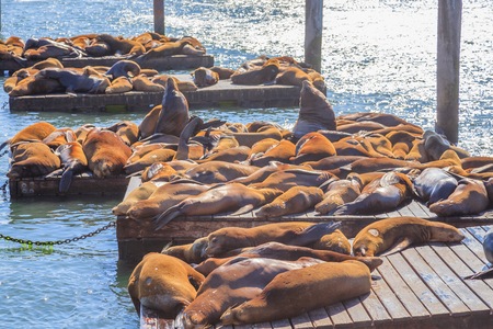 Crowds of sea lions colony at Pier 39 in San Francisco. Pier 39 is tourist attraction in San Francisco, California, United States. Travel holidays concept. Summer sun light. Stock fotó