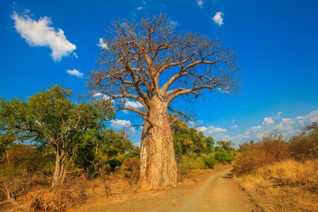 Landscape of Baobab tree in Musina Nature Reserve, one of the largest collections of baobabs in South Africa. Game drive in Limpopo Game and Nature Reserves. Sunny day with blue sky. Dry season. Stock Photo