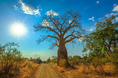 sunset Baobab tree in Musina Nature Reserve, one of the largest collections of baobabs in South Africa. Game drive in Limpopo Game and Nature Reserves. Sunny day with blue sky.