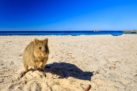 Un simpatico Quokka sulla spiaggia del bacino a Rottnest Island nell'Australia occidentale. Quokka è considerato l'animale più felice del mondo. Stagione estiva. Cielo blu con spazio di copia.