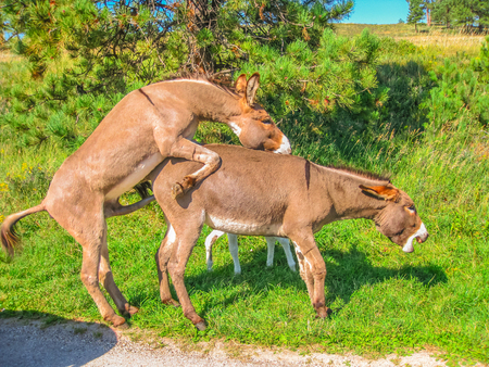 Side view of wild Donkeys mating at Black Hills National Forest, South Dakota, United States. Summer season in a sunny day. Stock Photo
