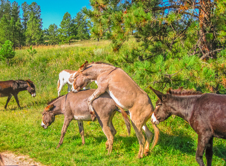Wild Donkeys mating at Black Hills National Forest, South Dakota, United States. Summer season in a sunny day.