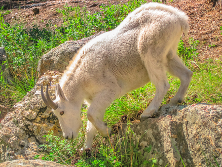 Side view of Mountain goat at Black Hills National Forest, South Dakota, United States.