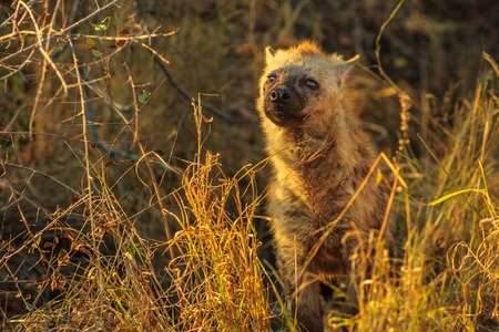 A cute spotted hyena cub in Kruger National Park, South Africa. Iena ridens or hyena maculata in grassland habitat. Dry season. Stock Photo