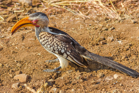Southern yellow-billed hornbill on the ground in Kruger National Park, South Africa. Tockus Leucomelas species of hornbill family.