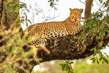 Vista lateral de la especie de leopardo africano Panthera pardus, descansando en un árbol al aire libre. Gran felino en el Parque Nacional Kruger, Sudáfrica. El leopardo es parte de los populares Big Five. Foto de archivo