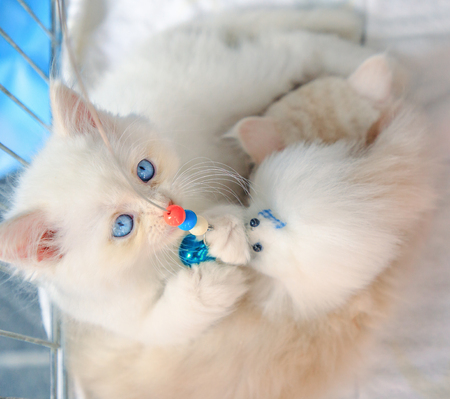 A cute white Turkish Angora cat playing close up. Fashion kitty cat with pedigree and blue eyes. Concept of comfortable house, relaxing and safety state of mind. Imagens
