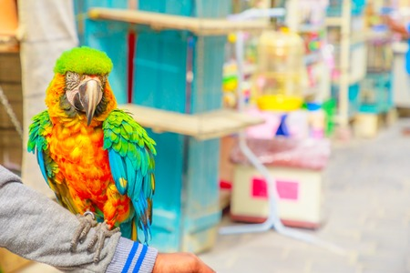 A colorful parrot standing on an arm at Bird Souq inside Souq Waqif, the old market tourist attraction in Doha center, Qatar, Middle East, Arabian Peninsula. Blurred background.