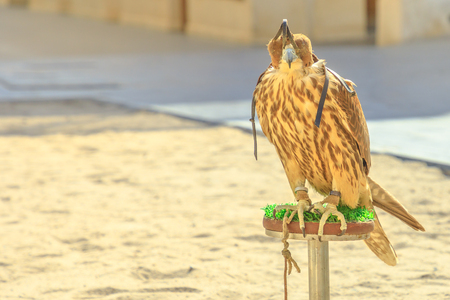 Close up of hooded falcon at Falcon Souq near Souq Waqif in Doha center, Middle East, Arabian Peninsula. Falconry is very popular in Qatar. Sunny day.