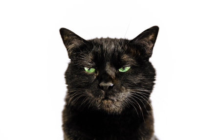 Portrait of common black cat with green eyes on white background. Horror atmospheres and halloween concept. Look panther and witch eyes. Bad luck and superstition.