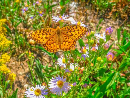 North America in summer season. Closeup of orange and yellow butterfly, Speyeria Coronis or Coronis Fritillary, of family Nymphalidae. Butterfly on flowers of Teton County, Wyoming, United States. Stock Photo