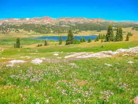 Flowering meadows in the summer season along Beartooth Highway. Beartooth Highway, the most beautiful drive in America, section of Route 212, Montana and Wyoming.