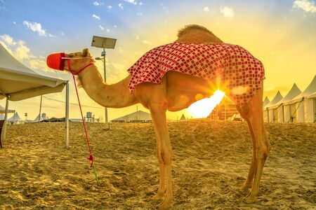 Camel on beach at Khor al Udaid in Persian Gulf, southern Qatar with sunset sunrays. Camel ride is a popular tour in Middle East, Arabian Peninsula. Inland sea is a major tourist destination for Qatar