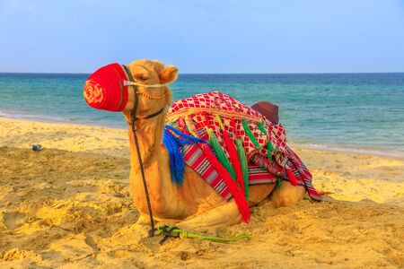 Camel relaxing on the beach at Khor al Udaid in Persian Gulf, southern Qatar with the sea on background. Camel ride is a popular tour in Middle East, Arabian Peninsula. 写真素材