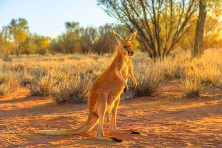 Side view of red kangaroo, Macropus rufus, standing on the red sand of outback central Australia. Australian Marsupial in Northern Territory, Red Center. Desert landscape at golden sunset. 写真素材 - 130390611
