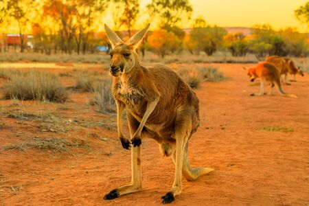 Front view of adult red kangaroo, Macropus rufus, standing on the red sand of outback central Australia. Australian Marsupial in Northern Territory, Red Centre. Desert landscape at golden sunset. 写真素材